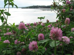 Red Clover overlooking Invergowrie Bay