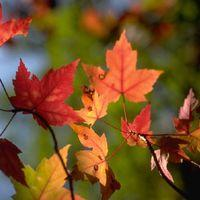 Autumn Leaf Clearing, The Miley Image