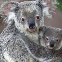 Koala Club Image