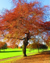 Tree in Balgay Park