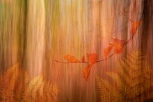 Fred Duncan Trophy Projected Image 3rd - 'Beech Wood in Autumn' - Dawn White
