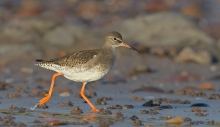 Fred Duncan Trophy Projected Image 1st - 'Running Redshank' - Stephanie Wilkie