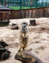 Camperdown Meerkat